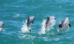 Dolphins on an Akaroa Cruise Wedding