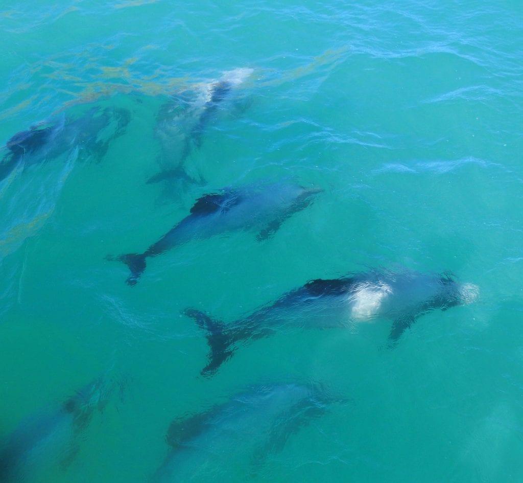 Pod of Dolphins on a NZ Wildlife Wedding
