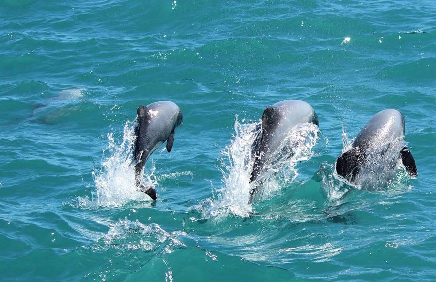 Dolphins on an Akaroa Wedding